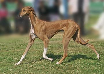 Azawakh Dog Videos