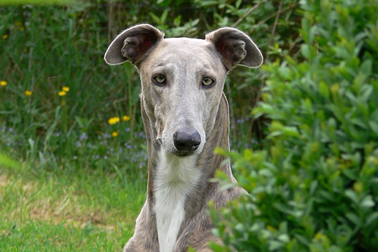 11 Things Greyhounds Want You To Know - 3MillionDogs