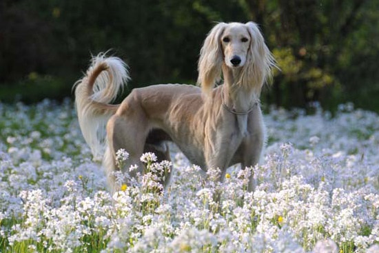 Best Food For Puppies >> Saluki