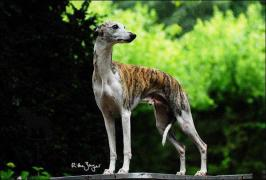 Whippet im Stand